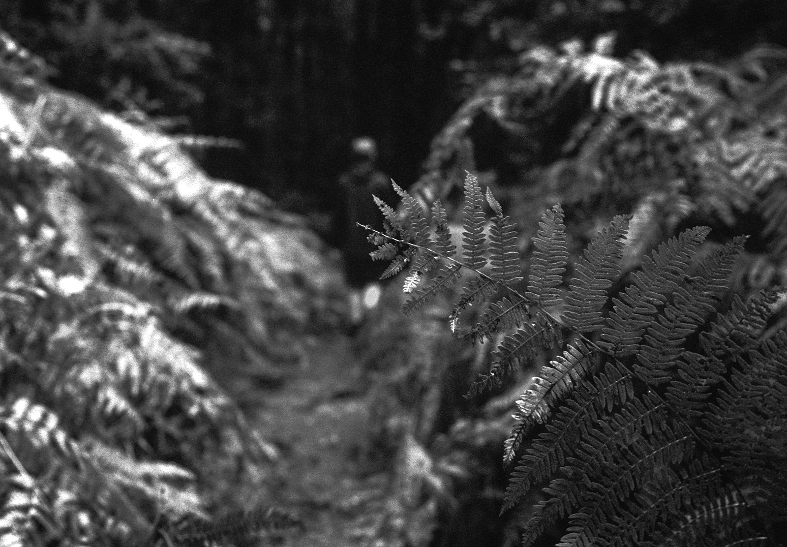 Fern across path