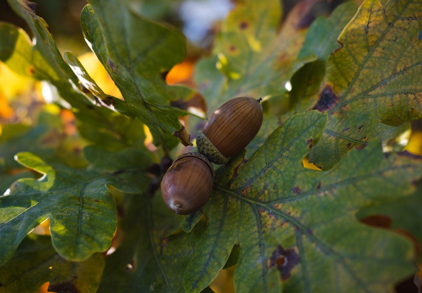 Pair of acorns