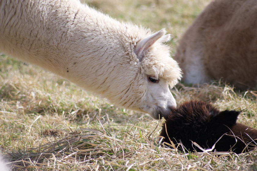 White alpaca nosing another laying down