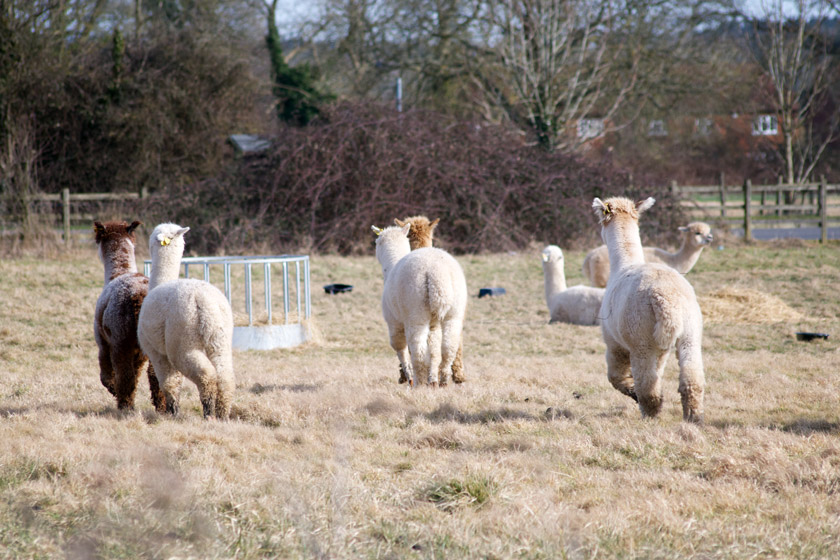Group of alpacas running