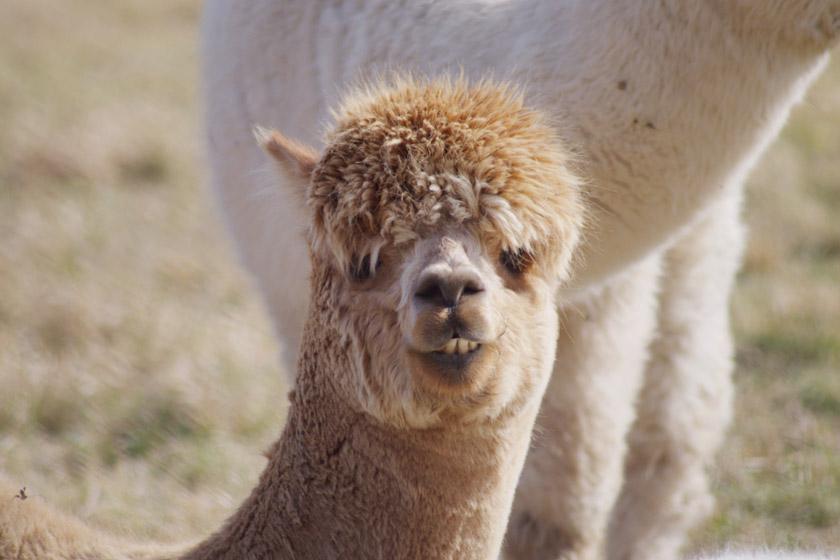 Hairy alpaca