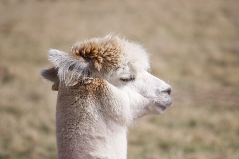 Alpaca with eyes closed in the sun