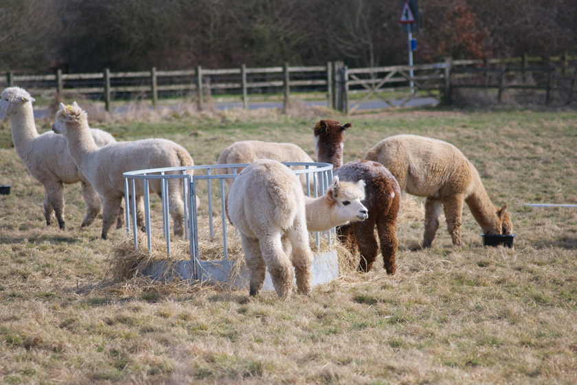 Group of alpacas in field