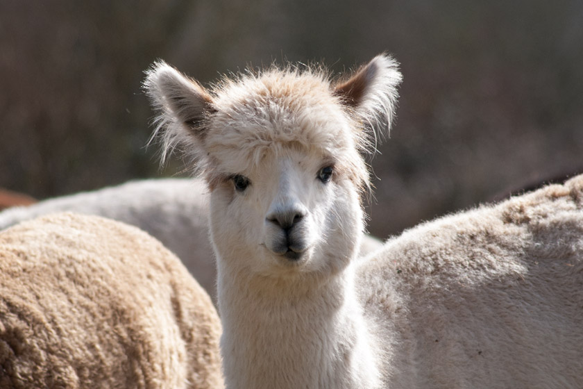 Curious looking alpaca