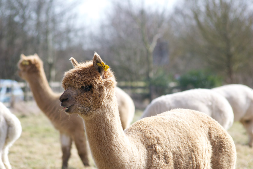 Alpaca with grass in mouth