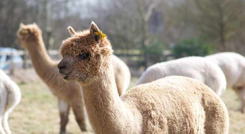 Alpaca in field