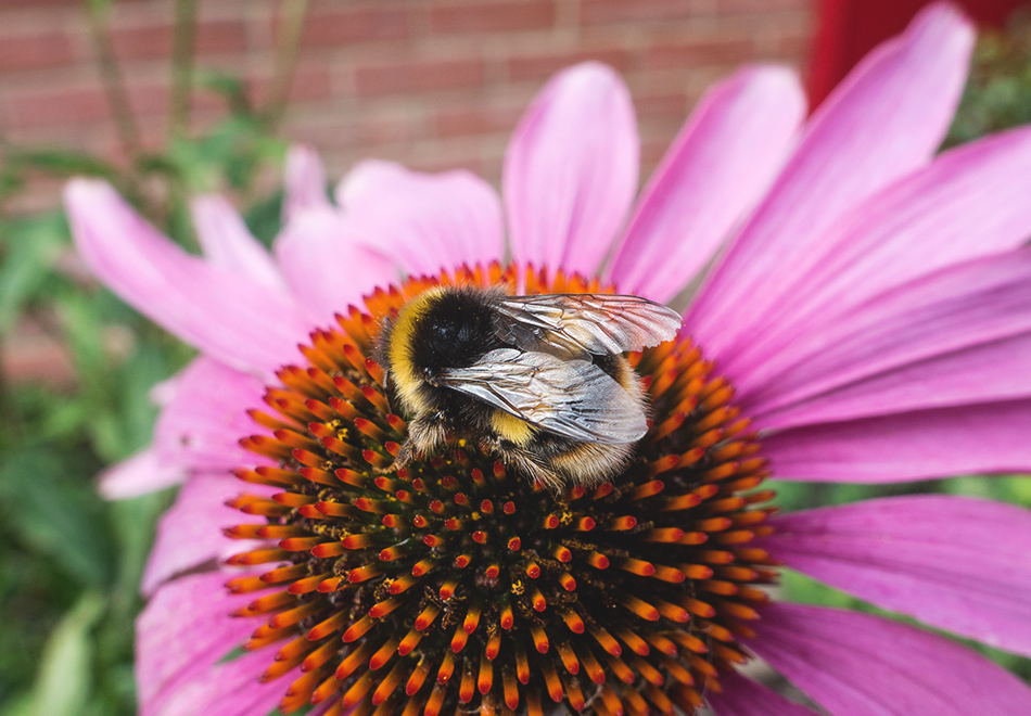 Bee on echinacea cone