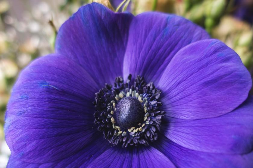 Closeup of purple anemone