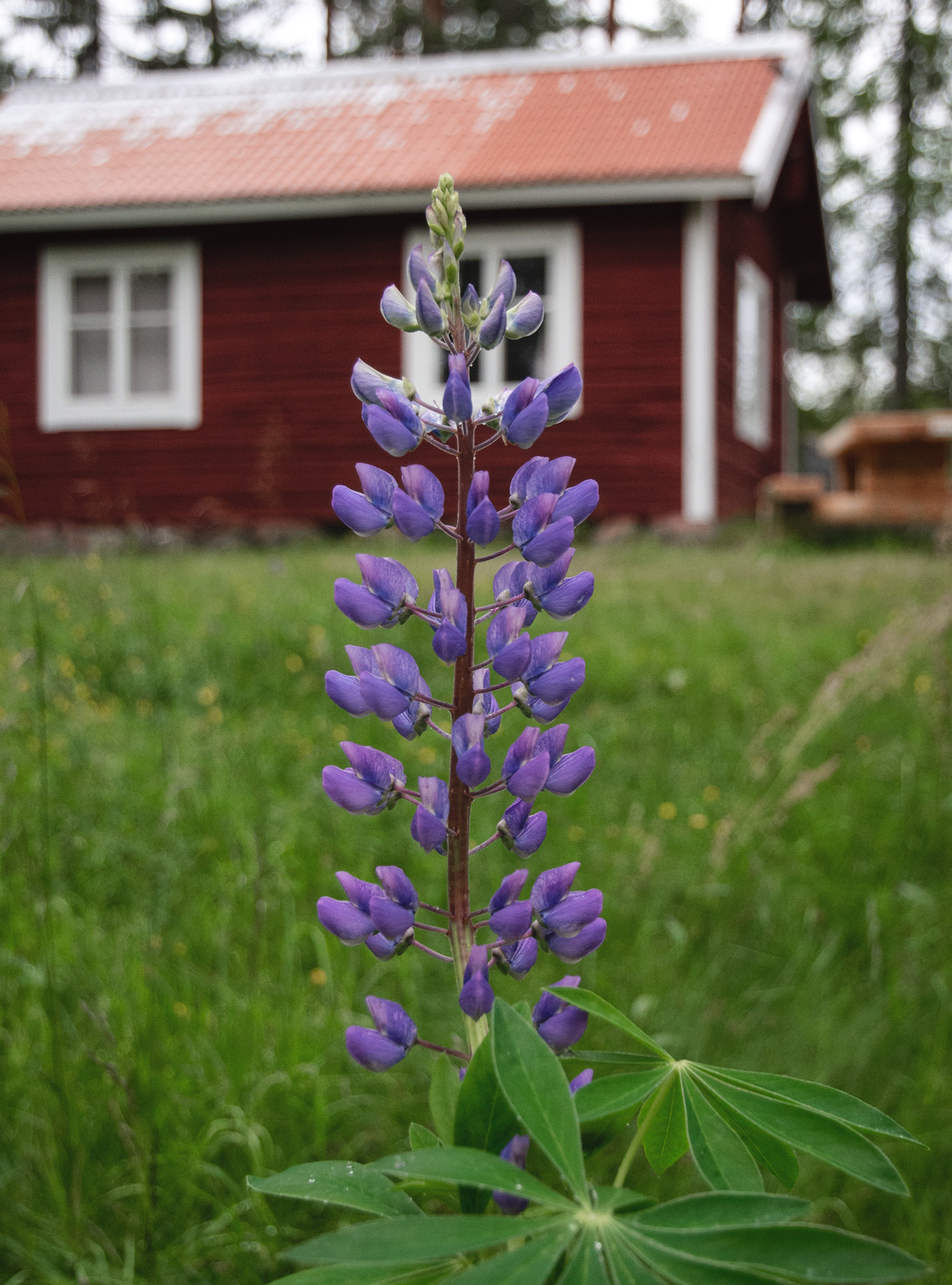 Purple lupin in front of cabin