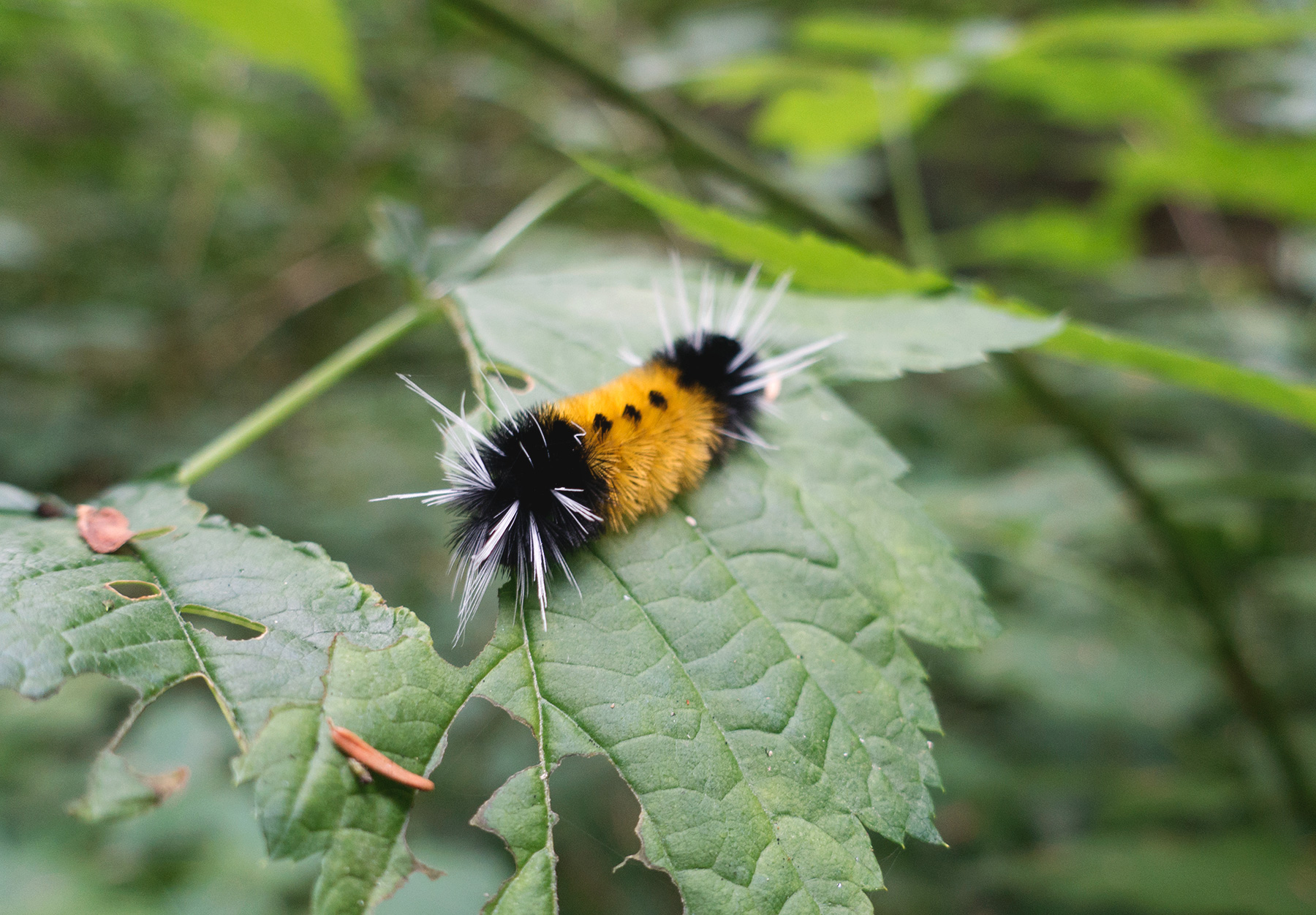 Yellow and black hairy caterpillar
