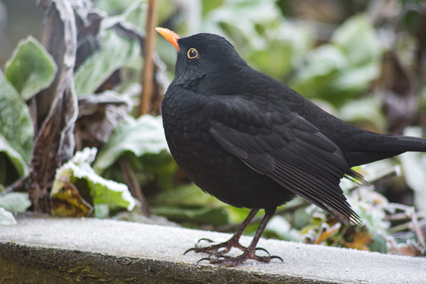 Blackbird standing on frost
