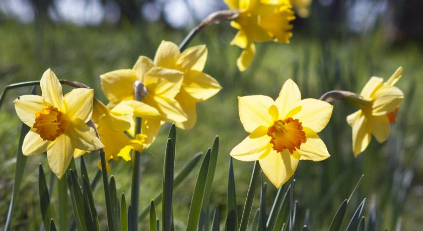 Sun shining on daffodils