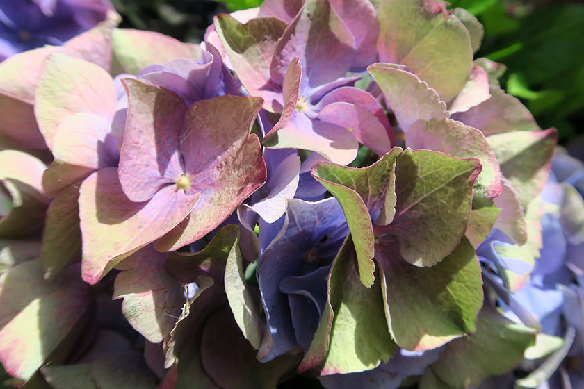 Multicoloured hydrangea petals