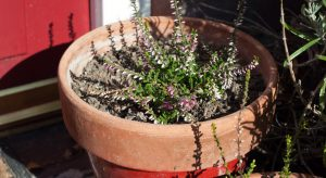 Pink heather in pot