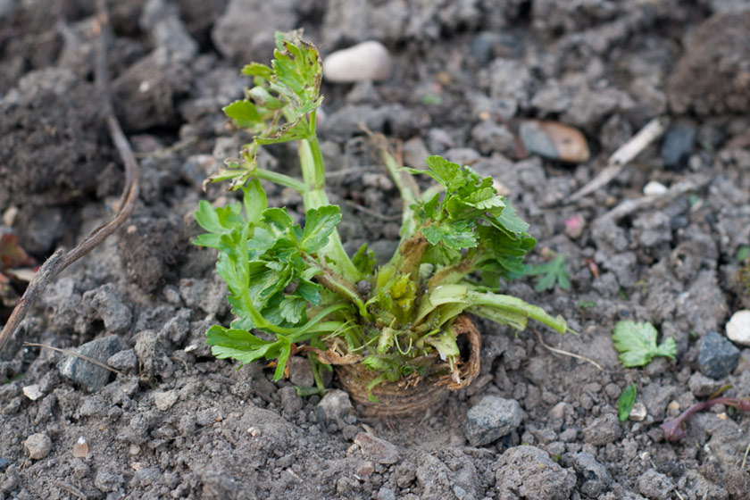 Celeriac in soil