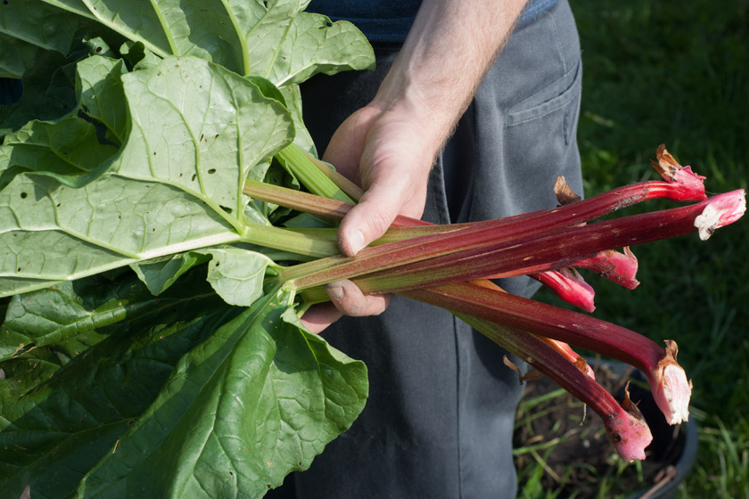 Holding fresh rhubarb