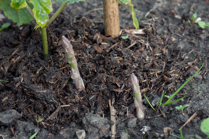 Asparagus tips in soil