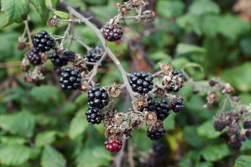 Blackberries on branch