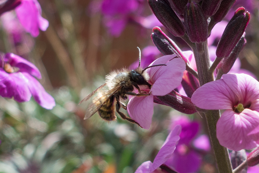 Honey bee on Erysimum