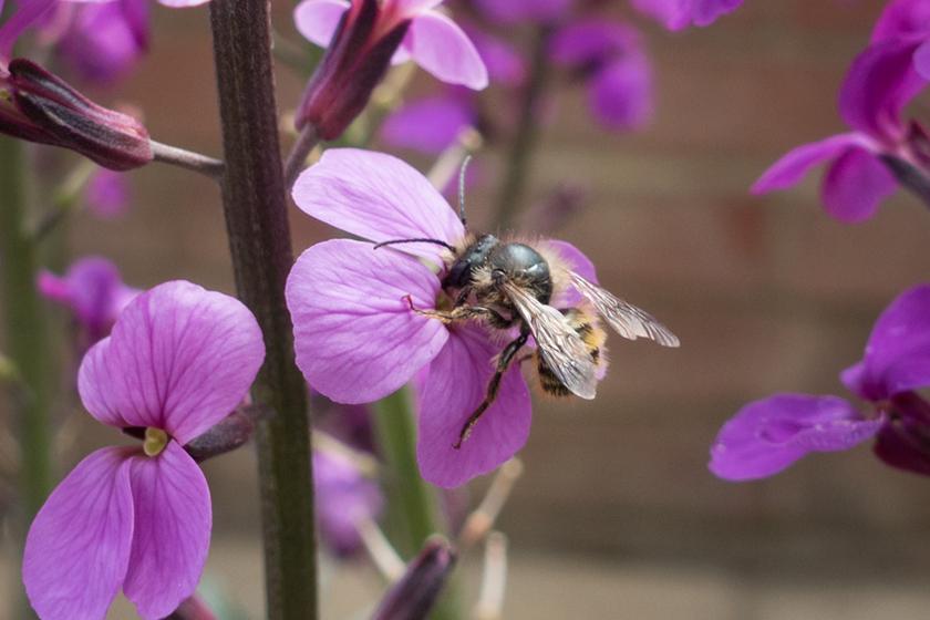 Honey bee on Erysimum