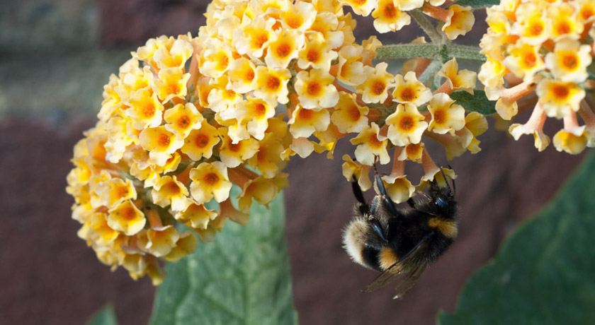 Bee on yellow Buddleja