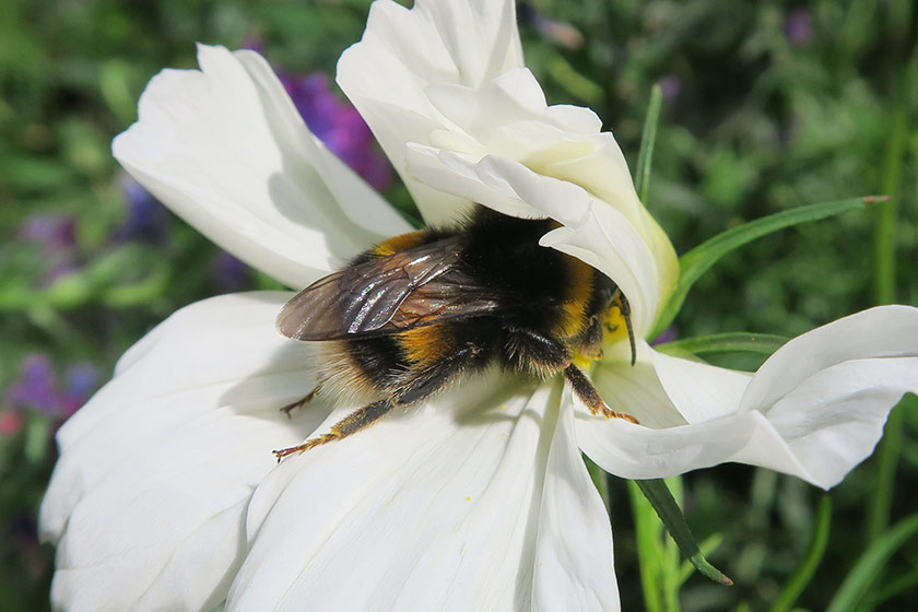Bee in white cosmos