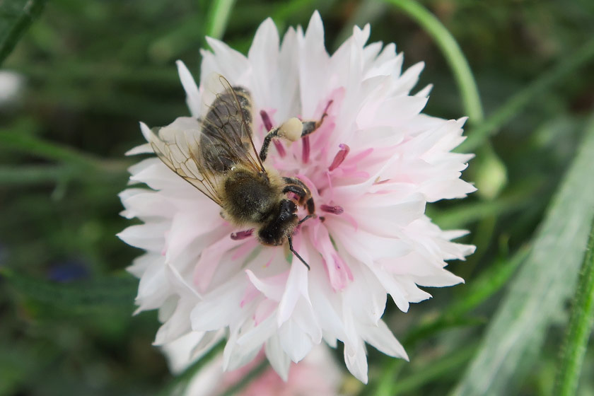 Bee on pink cornflower