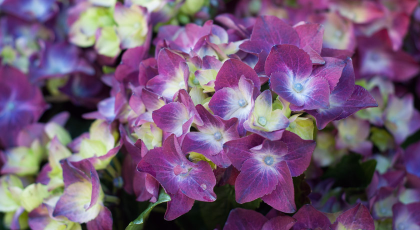 Purple and green hydrangea petals