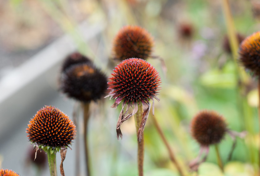Echinacea heads with no petals