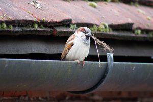 House sparrow on guttering