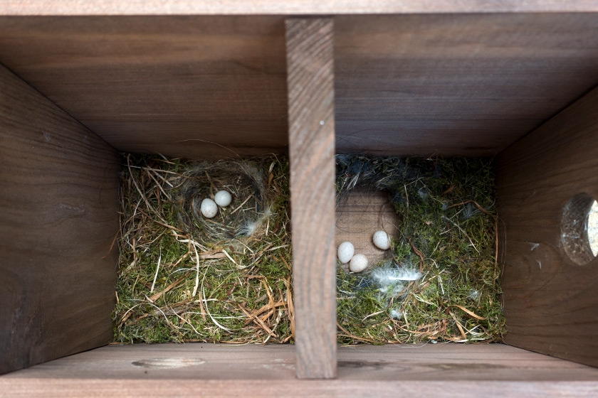 Blue tits eggs in bird box