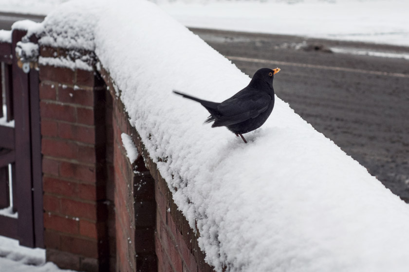 Blackbird on snowy wall
