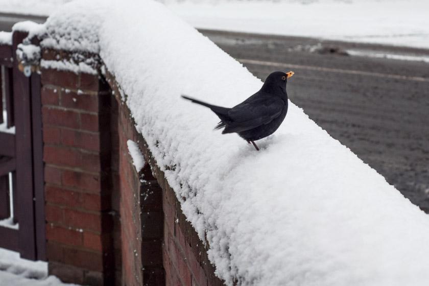 Blackbird on snowy wall