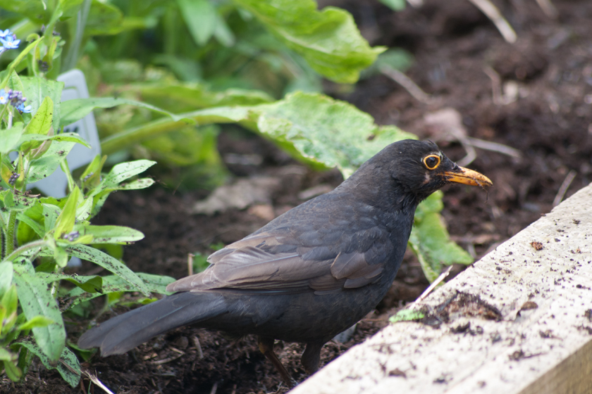 Digging blackbird
