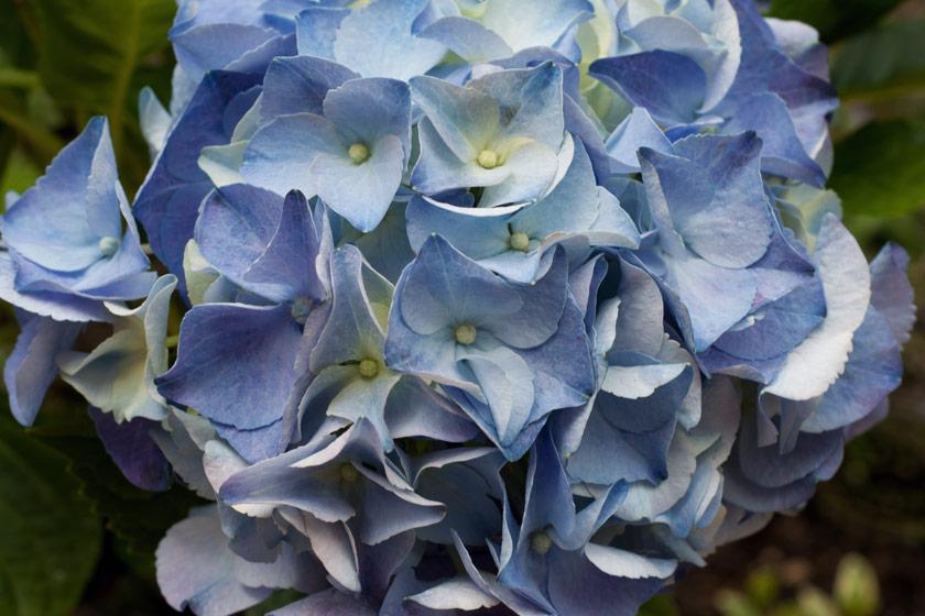 Closeup of blue petals