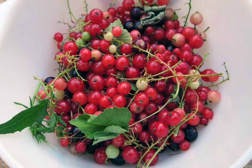 Bowl of redcurrants