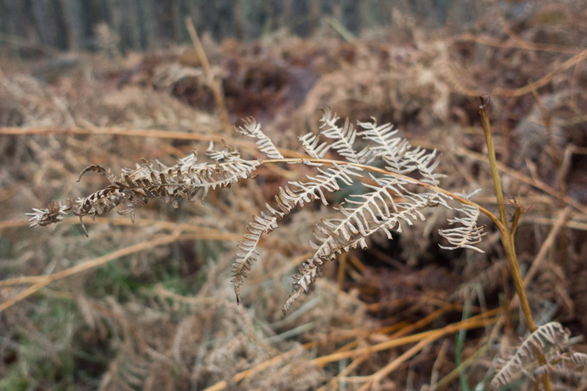 Closeup of brown fern