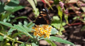 Butterfly on yellow buddleja