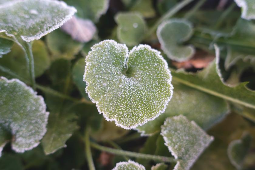 Frozen campanula leaf