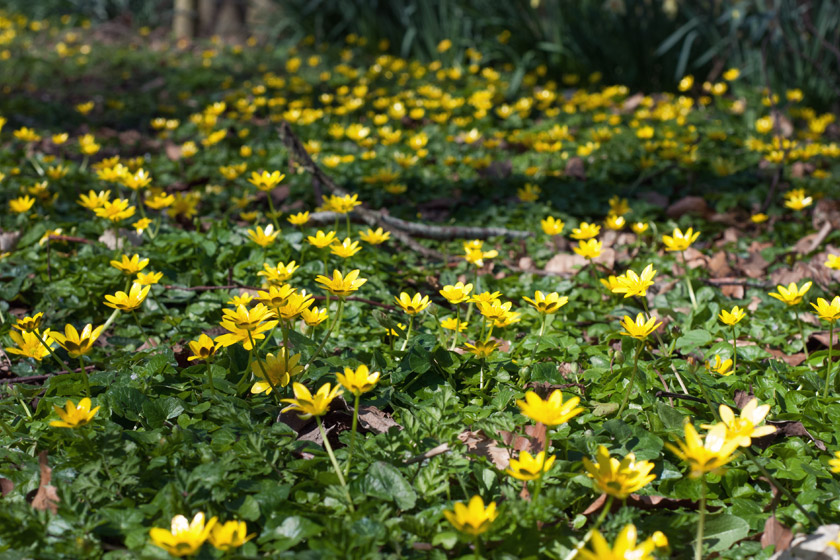 Carpet of yellow celandine flowers