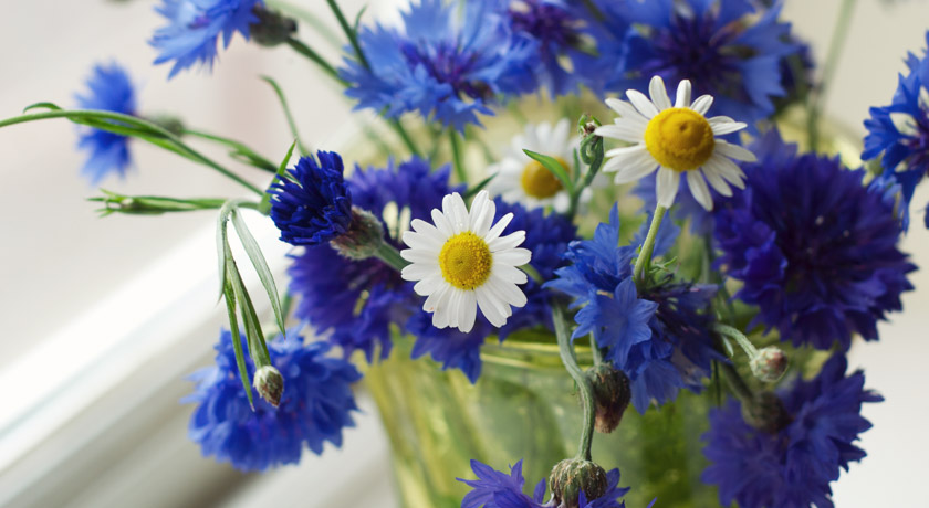 Chamomile and bright blue cornflowers