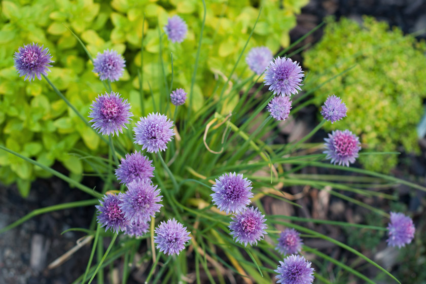 Chive flowers from above