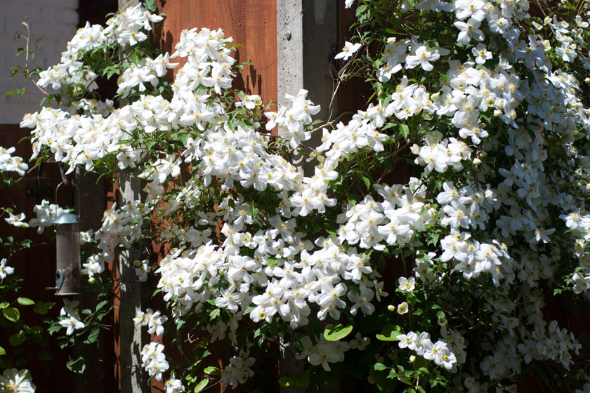 White clematis climbing fence