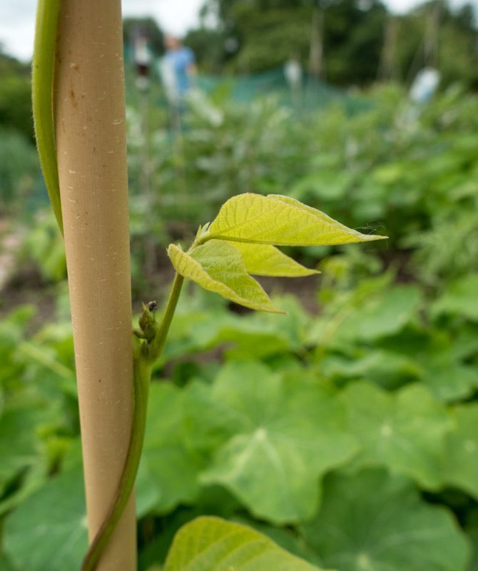Young runner bean leaves
