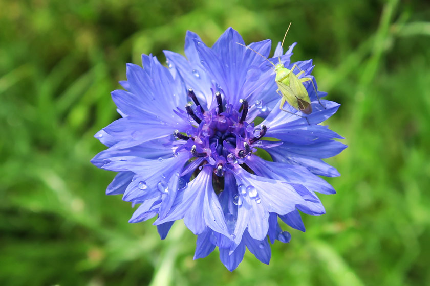 Young grasshopper on cornflower