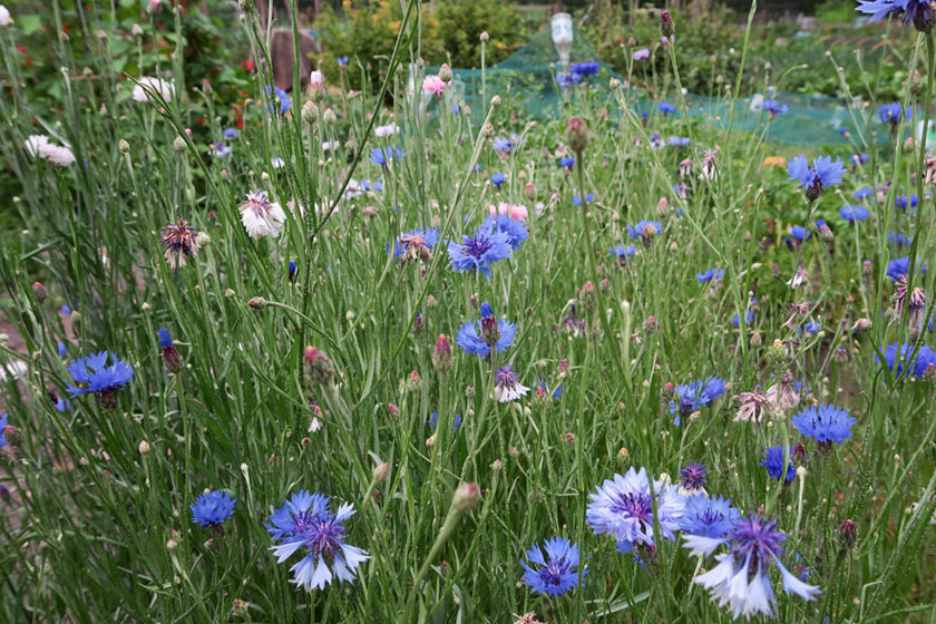 Patch of cornflowers