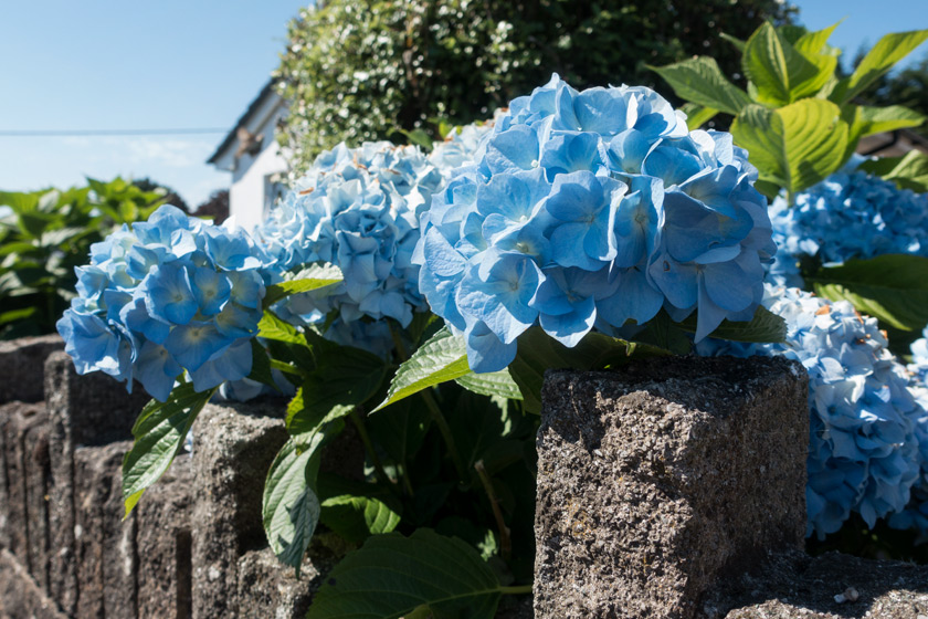 Blue hydrangeas on wall