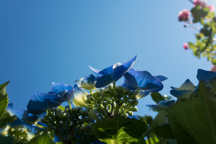Hydrangeas against sky