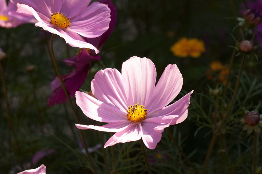 Pale pink cosmos flowers