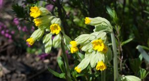 Bright yellow cowslip flowers
